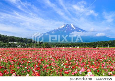 양귀비 (히나 게시) 꽃밭 야마나카 코 화려한 도시 공원 66639459