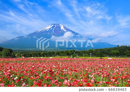 양귀비 (히나 게시) 꽃밭 야마나카 코 화려한 도시 공원 66639465