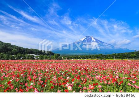 양귀비 (히나 게시) 꽃밭 야마나카 코 화려한 도시 공원 66639466