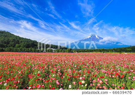 양귀비 (히나 게시) 꽃밭 야마나카 코 화려한 도시 공원 66639470