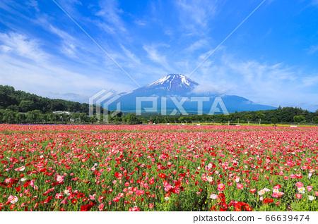 양귀비 (히나 게시) 꽃밭 야마나카 코 화려한 도시 공원 66639474
