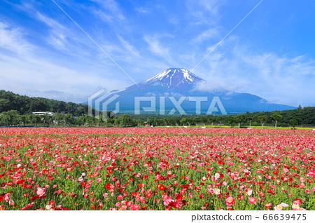 양귀비 (히나 게시) 꽃밭 야마나카 코 화려한 도시 공원 66639475