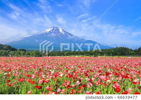 양귀비 (히나 게시) 꽃밭 야마나카 코 화려한 도시 공원 66639477