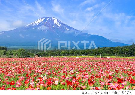 양귀비 (히나 게시) 꽃밭 야마나카 코 화려한 도시 공원 66639478