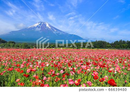 양귀비 (히나 게시) 꽃밭 야마나카 코 화려한 도시 공원 66639480