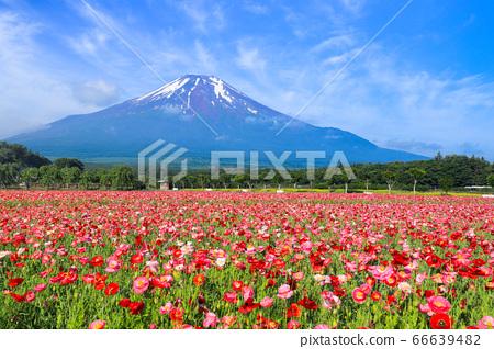 양귀비 (히나 게시) 꽃밭 야마나카 코 화려한 도시 공원 66639482
