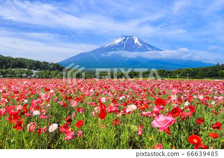 양귀비 (히나 게시) 꽃밭 야마나카 코 화려한 도시 공원 66639485