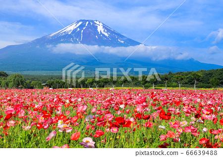양귀비 (히나 게시) 꽃밭 야마나카 코 화려한 도시 공원 66639488