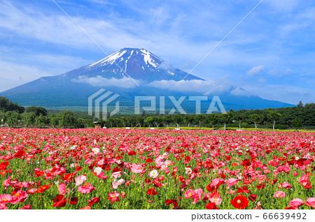 양귀비 (히나 게시) 꽃밭 야마나카 코 화려한 도시 공원 66639492