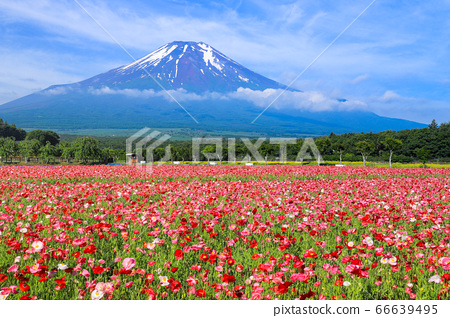 양귀비 (히나 게시) 꽃밭 야마나카 코 화려한 도시 공원 66639495