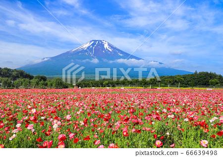 양귀비 (히나 게시) 꽃밭 야마나카 코 화려한 도시 공원 66639498