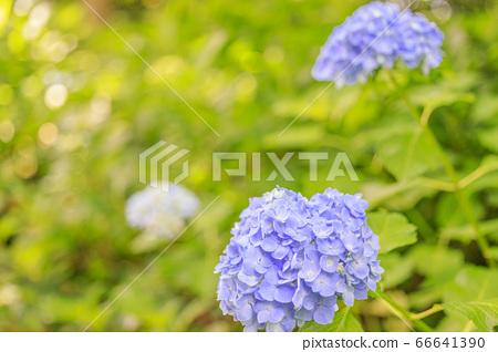 楊谷寺 柳谷 관음 만개의 수국과 꽃 세숫물 66641390