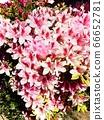 길가의 핑크 꽃들 66652781