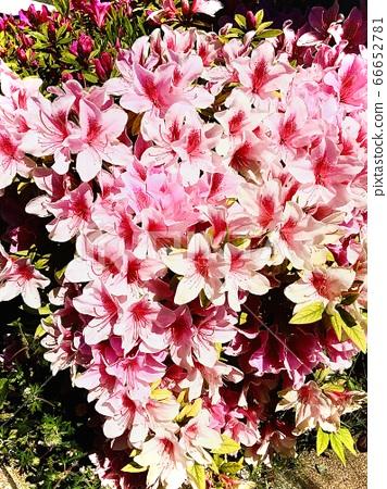 Roadside pink flowers 66652781