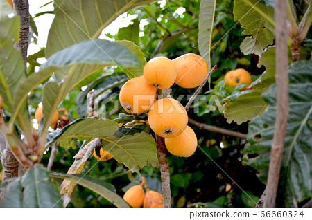 나무에 열매 맺은 비파 66660324