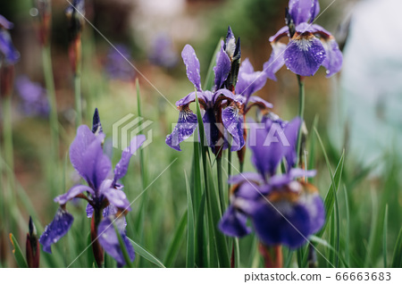 Iris versicolo or purple iris is known as the Blue Flag, Harlequin Blueflag, Larger Blue Flag, Northern Blue Flag 66663683