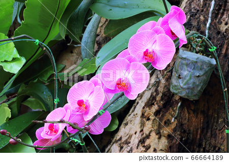 Beautiful orchid flowers with natural background 66664189