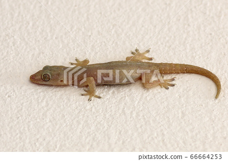 Lizard isolated on wall background 66664253
