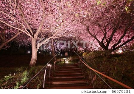 Kawazu Sakura Night Cherry Blossom 01 66679281