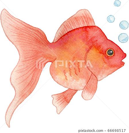 紅金魚 66698517