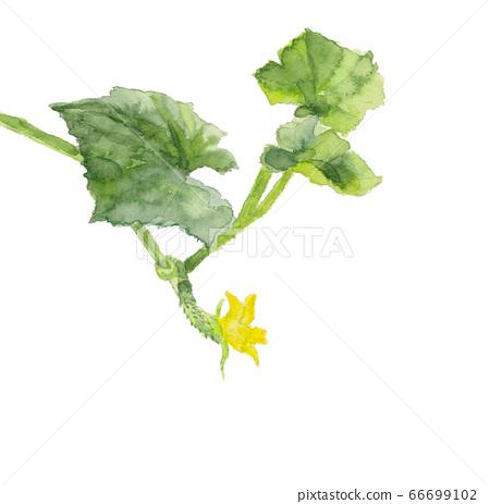 黃瓜花(幼果)[水彩材料] 66699102