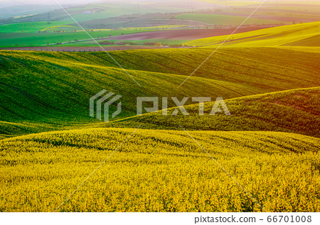 Rapeseed yellow green field in spring 66701008