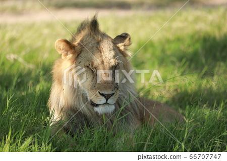 一頭遭受巴黎襲擊的獅子 66707747