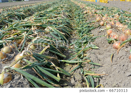 Harvest of onions from Awaji Island 66710313