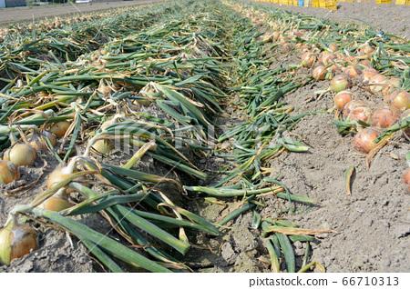 從淡路島收穫洋蔥 66710313