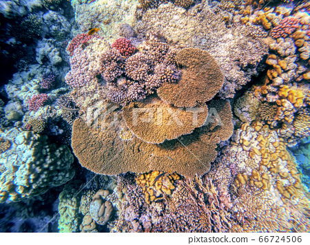 Coral garden in red sea, Marsa Alam, Egypt 66724506
