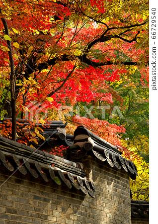 一道古老牆壁裡的美麗楓樹 66729540