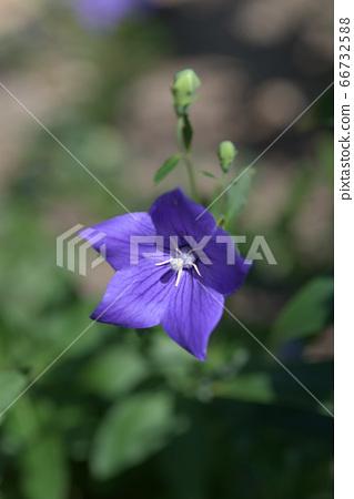 도라지 꽃 66732588