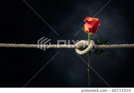 Red rose is tied with a rough rope. The concept of 66733059