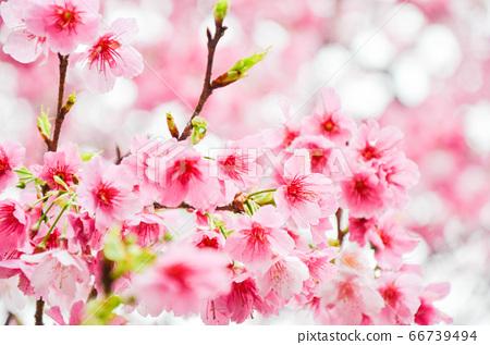 櫻花花節,櫻花花,櫻花花樹,櫻花花季,天元宮櫻花花 66739494