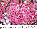 櫻花花節,櫻花花,櫻花花樹,櫻花花季,天元宮櫻花花 66739579