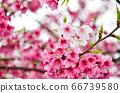 櫻花花節,櫻花花,櫻花花樹,櫻花花季,天元宮櫻花花 66739580