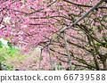 櫻花花節,櫻花花,櫻花花樹,櫻花花季,天元宮櫻花花 66739588
