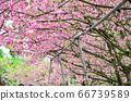 櫻花花節,櫻花花,櫻花花樹,櫻花花季,天元宮櫻花花 66739589
