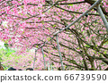 櫻花花節,櫻花花,櫻花花樹,櫻花花季,天元宮櫻花花 66739590