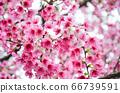 櫻花花節,櫻花花,櫻花花樹,櫻花花季,天元宮櫻花花 66739591