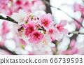櫻花花節,櫻花花,櫻花花樹,櫻花花季,天元宮櫻花花 66739593