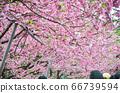 櫻花花節,櫻花花,櫻花花樹,櫻花花季,天元宮櫻花花 66739594