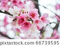 櫻花花節,櫻花花,櫻花花樹,櫻花花季,天元宮櫻花花 66739595