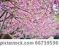 櫻花花節,櫻花花,櫻花花樹,櫻花花季,天元宮櫻花花 66739596