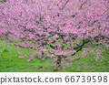 櫻花花節,櫻花花,櫻花花樹,櫻花花季,天元宮櫻花花 66739598