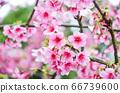 櫻花花節,櫻花花,櫻花花樹,櫻花花季,天元宮櫻花花 66739600