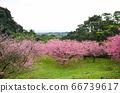 櫻花花節,櫻花花,櫻花花樹,櫻花花季,天元宮櫻花花 66739617