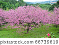 櫻花花節,櫻花花,櫻花花樹,櫻花花季,天元宮櫻花花 66739619