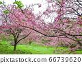 櫻花花節,櫻花花,櫻花花樹,櫻花花季,天元宮櫻花花 66739620