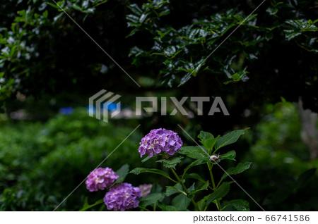 Hydrangea June 66741586